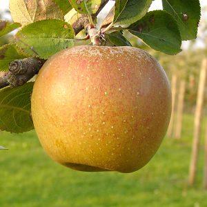 manzana tabardilla coruña